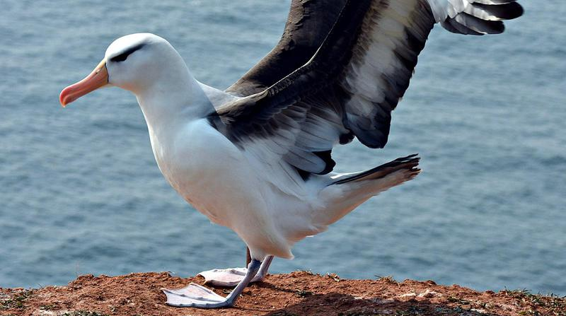 Albatrosse (Diomedeidae) (2)2
