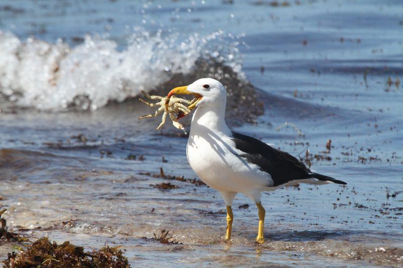 Albatrosse (Diomedeidae)