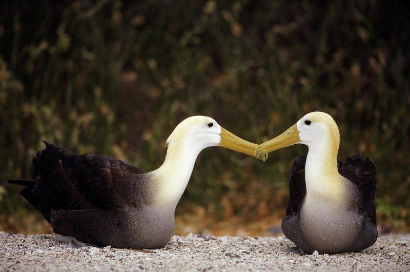 Galapagosalbatros (Phoebastria irrorata)1