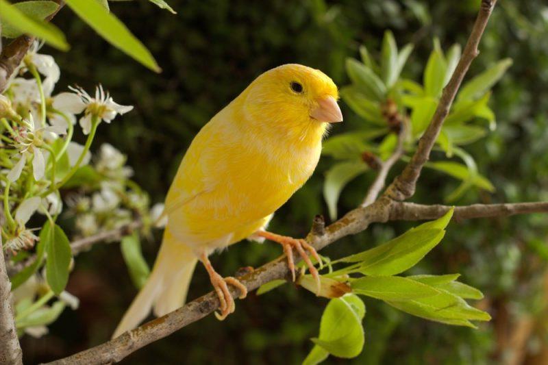 Kanarienvögel 4