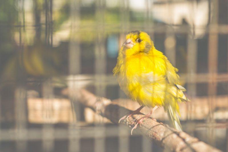 Kanarienvogel 2