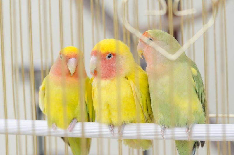 Kanarienvogel 4