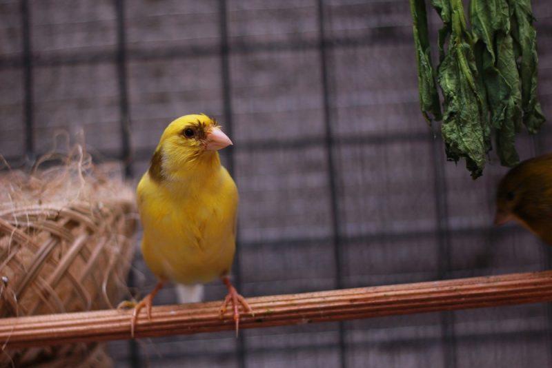 Kanarienvogel 5