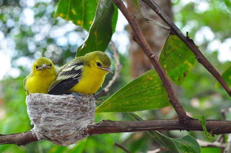 Kanarienvogel nest