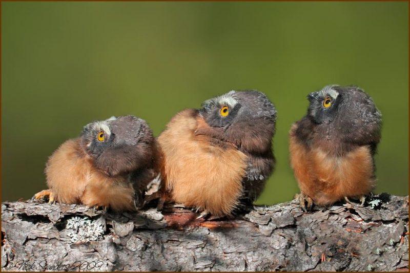 Sägekauz (Aegolius acadicus)